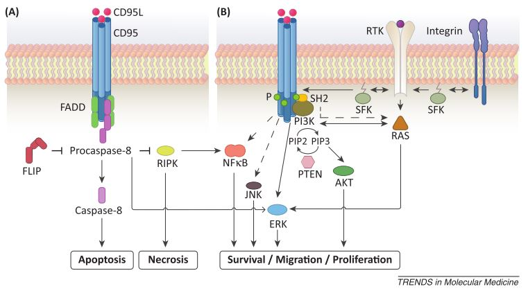 cd95 pathways